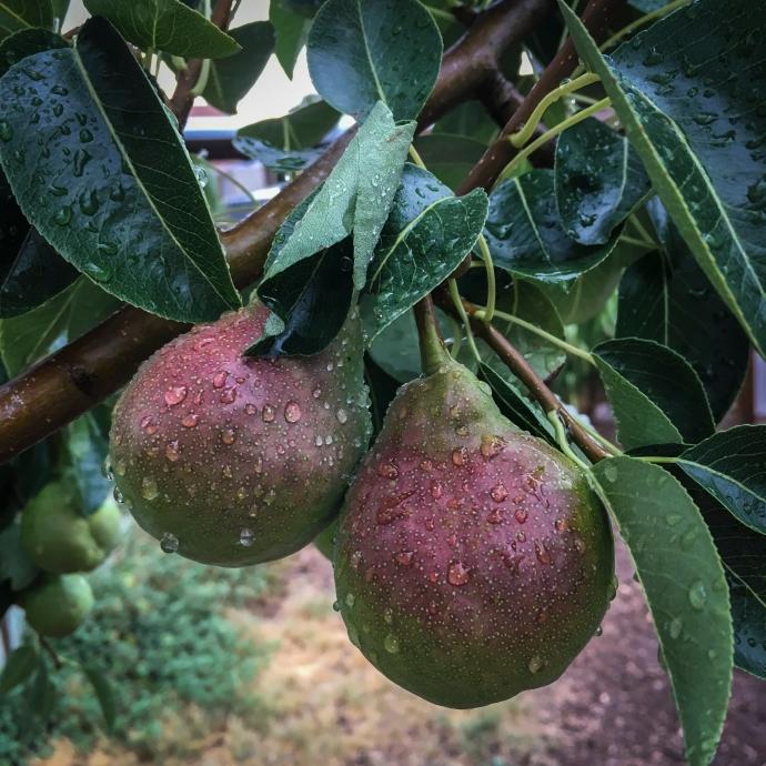 23.Pears